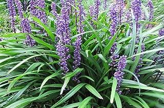 HOT - Liriope muscari Big Blue 100 Seeds