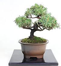 清香園 手のひらサイズですぐに飾っていただける杜松の盆栽