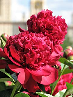 5 Garden Peony Paeonia Lactiflora Red Pink White Mix Chinese Peony Flower (LMS) Seeds