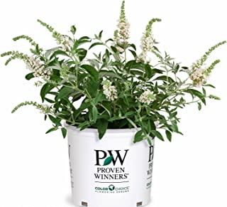 3 Gal. Lo & Behold 'Ice Chip' Butterfly Bush (Buddleia) Live Shrub, White Flowers
