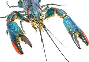 Live Aquaponics 5 Australian Red Claw Crayfish 2+ Inch, Live Aquarium Crayfish for Sale