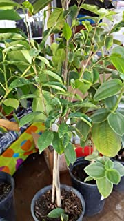 Sponsored Ad - 9EzTropical - Soursop Tree - 1 Plants - 2 to 3 Feet Tall - Ship in 1 Gal Pot