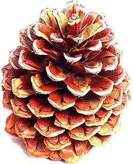 24 Plus New Pinecones 3