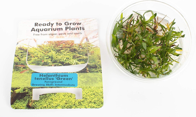 PondPlantsUK All Types in Pots Tissue Culture in Vitro Live Aquarium Plants Carpet Tropical invitro Helanthium tenetlus Green