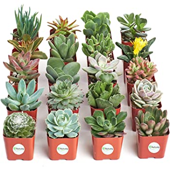 Shop Succulents | Unique Collection of Live Plants, Hand Selected Variety Pack of Mini Succulents, Standard box