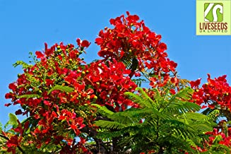 Best growing poinciana trees from seed Reviews