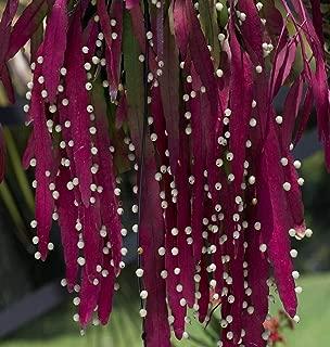 buyrareseeds Pseudorhipsalis ramulosa   Red Rhipsalis   Mistletoe Cactus   10_Seeds