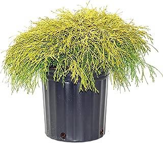 Gold Mop Weeping Threadleaf Cypress - Live Plant - 2 Gallon Pot