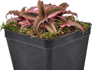Cryptanthus, Bromeliad Earth Star, Pink, Lightly Rooted