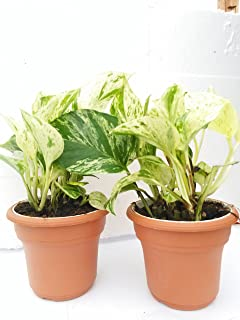 "Two Marble Queen' Devil's Ivy Pothos 4.5"" Unique Design Pot - Easy to Grow From Jm Bamboo"