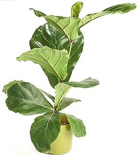 Shop Succulents Ficus Lyrata' House Plant in 6