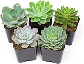 Succulent Plants | 5 Echeveria Succulents | Rooted in Planter Pots with Soil |Real Live Indoor Plants | Gifts or Room Decor by Plants for Pets