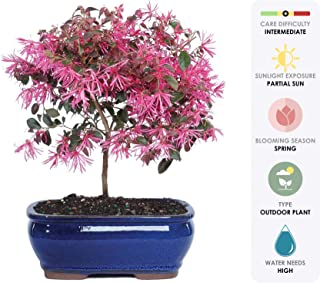 Brussel's Live Fringe Flower Outdoor Bonsai Tree - 3 Years Old; 8
