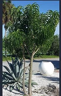 Pachypodium rutenburgianum v meridionale, Rare Tree, Madagascar Palm, Rare Succulent Plant, Caudex, Bonsai, 6