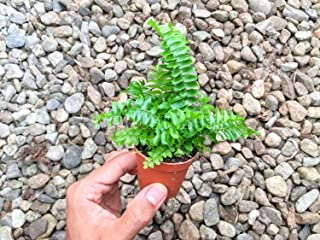 Boston Fern Plant Mini Sword Fern Nephrolepis Exaltata Indoor Plants House Plant Rare Houseplant Office Plant Gift Easy Care Plant