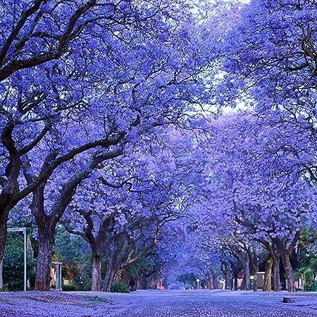 Amazon Com Blue Purple Jacaranda Jacaranda Mimosifolia Tree Shrub Heirloom 30 Bulk Seeds Garden Outdoor