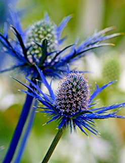 SEA HOLLY 119 SEEDS, AMAZING METALLIC BLUE FLOWERS AND STEMS, FANTASTIC PLANT