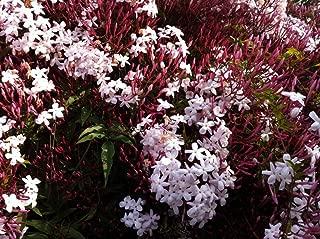 9EzTropical - Jasminum polyanthum - Pink Jasmine - 2 Feet Tall - Ship in 1 Gal Pot