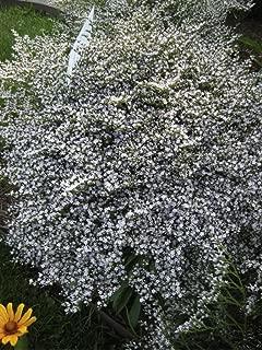 german statice seeds