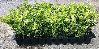 Best live boxwood plants Reviews