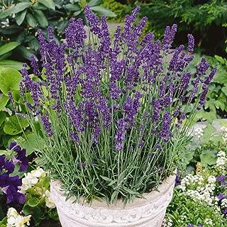 David's Garden Seeds Herb Lavender Vera SL1199 (Purple) 500 Non-GMO, Heirloom Seeds