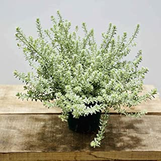 苗 観葉植物:ウエストリンギア フルティコサ 斑入り *5号