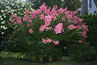 Dwarf Crape Myrtle Assortment, Pack of 5, White, Pink, Watermelon Red, Red & Purple, Matures 6'-10' (2-4ft Tall When Shipped, Well Rooted with Pots & Soil)