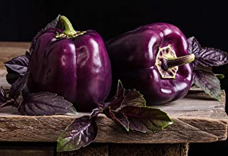 Sweet Pepper Purple Bell Seeds Oda Vegetable for Planting Giant Organic Non GMO 30 Seeds