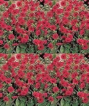 Potentilla atrosanguinea Gibsons Scarlet Perennial Flowers Seeds 500 Pcs an