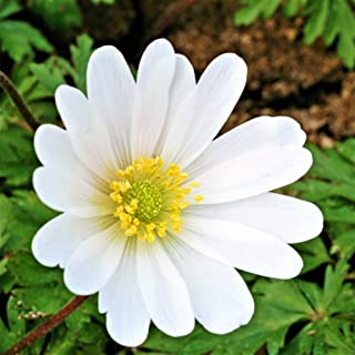 White Anemone Blanda Sparkling White - 20 Big Bulbs - 5/6 cm - Great Cut Flowers & Attractive to Butterflies | Ships From Easy to Grow TM