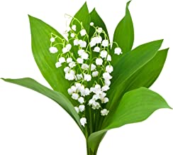 Special Sale: 10 Large, Fresh, Plump Lily of The Valley Bare Root Plants