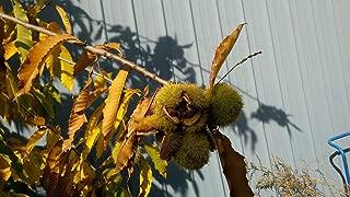 AMERICAN CHESTNUT TREE Castanea dentata 3-6