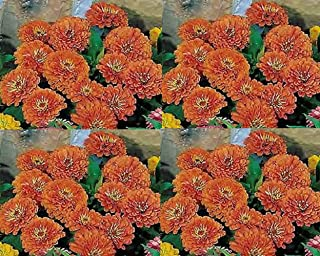 zinnia dreamland coral