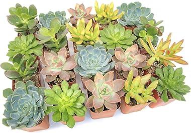 Altman Plants, Live Succulent Plants (20 Pack) Assorted Potted Succulents Plants Live House Plants in Cacti and Succulent Soi
