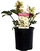 Helleborus X 'Ivory Prince' (Christmas Rose) Perennial, white flowers, 1 - Size Container