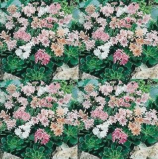 Lewisia Cotyledon Rainbow Mix Perennial Flowers Seeds 100 Pcs an