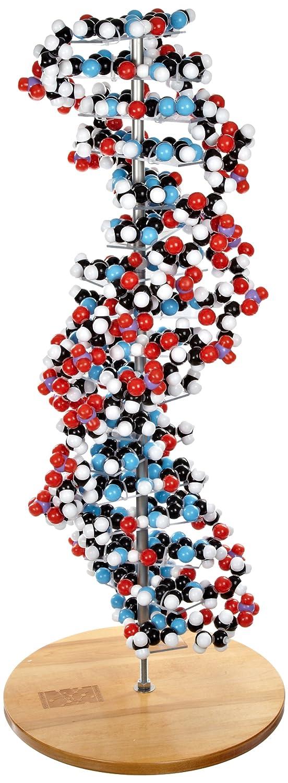 Molecular Models 14-DNA2700C 17 Base Pair DNA Model Kit, Completely Assembled
