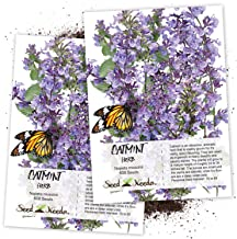 Seed Needs, Catmint Herb (Nepeta mussinii) Twin Pack of 600 Seeds Each Non-GMO