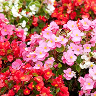 Fibrous Begonia Cocktail Series Plant Seeds (Pelleted): Mixed Colors - 1000 Seeds - Decorative Flower Plant, Houseplant