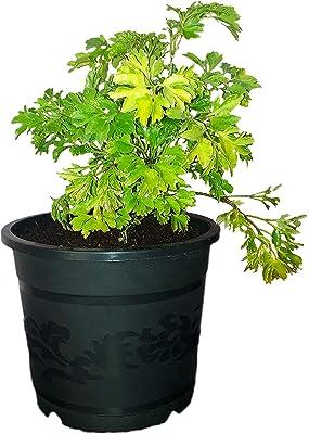 Rising Nisarga Aralia Variegated Plant In Black 5 Inch Pot