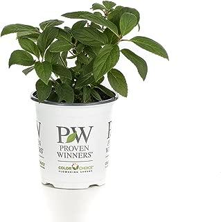 Bobo Hardy Hydrangea (Paniculata) Live Shrub, White to Pink Flowers, 4.5 in. Quart
