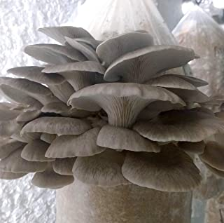 100 Grams/4 oz of Phoenix Oyster Mushroom Spawn Mycelium to Grow Gourmet and Medicinal Mushrooms at Home or commercially - Use to Grow on Straw or Sawdust Blocks - G1 or G2 Spawn