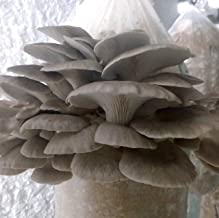 100 Phoenix Oyster Mushroom Spawn Plugs/Dowels to Inoculate Logs or Stumps to Grow Gourmet and Medicinal Mushrooms - Grown Your Own Mushrooms for Years to Come - Makes a Perfect Gift or a Project