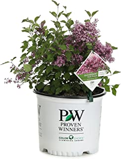 Best dwarf reblooming lilac Reviews