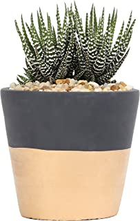 Costa Farms, Premium Live Indoor Succulent Plant, Haworthia, Shelf Plant, Two-Toned Gold & Charcoal Modern Ceramic Decorator Pot, Shipped Fresh From Our Farm, Excellent Gift