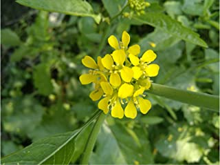 Brassica juncea 100 seeds Indian Mustard Greens Garden Seeds Natural Non GMO Mildly Spicy use for Salads, Pesto, fresh, green mixes, cooked