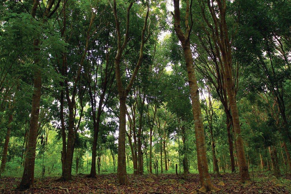 Mall~Kerala Mahogany Swietenia Macrophylla Honduran Timber Tree Seeds Fast  Growing 50 Nos : Amazon.in: Garden & Outdoors