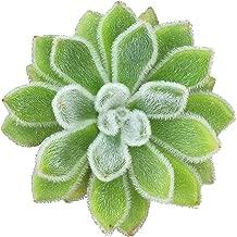Echeveria Doris Taylor Woolly Rose Succulent (2'' + Clay Pot)