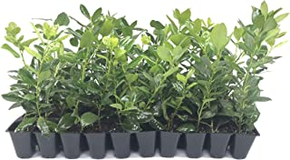 Nellie R. Stevens Holly - 10 Live Trees - Evergreen Privacy Plants