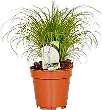 Cyperus alternifolius 'Zumula' | Kattengras | Groene kamerplant | Hoogte 20-25cm | Pot Ø 12cm